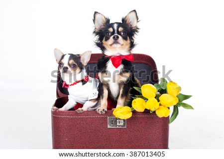 Two chihuahua dogs are sitting in box - stock photo