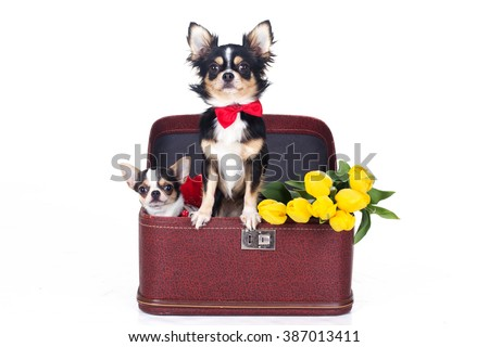 Two chihuahua dogs are sitting in box with tulips - stock photo