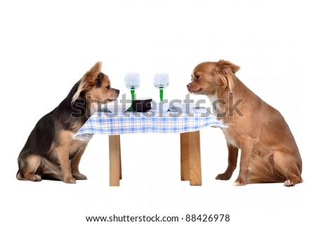 Two chihuahua dogs at the table, isolated on white background - stock photo