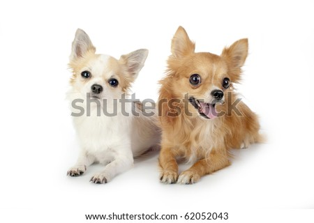 two chihuahua dogs lying on white background looking at camera