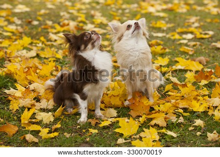 Two chihuahua dogs sitting in autumn leaves outdoor - stock photo