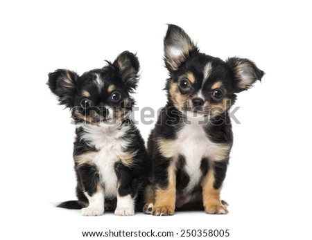 Two chihuahua puppies - stock photo