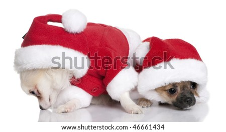 Two Chihuahua puppies in Santa Claus suits, 7 months old, sitting in front of white background - stock photo