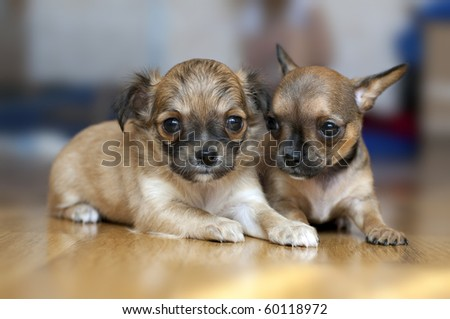 two Chihuahua puppies on a floor with blurred background - stock photo