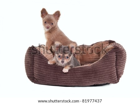 Two Chihuahua Puppies sitting in a brown cot isolated on white background - stock photo