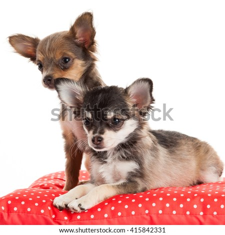 Two Chihuahua Puppy - stock photo