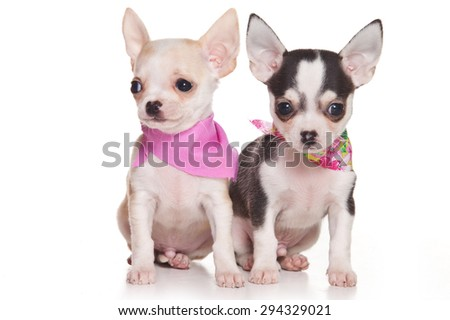 Two chihuahua puppy with scarves (isolated on white) - stock photo