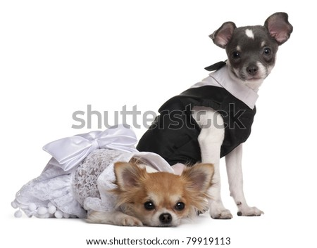 Two Chihuahuas dressed-up in front of white background - stock photo