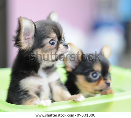 two chihuahuas in a basket - stock photo