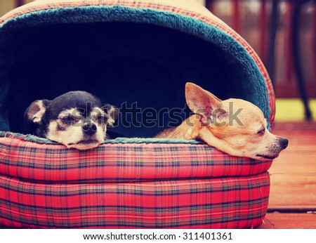 two chihuahuas in a pet bed taking a nap outside in the sunshine on a deck or patio during summer time toned with a retro vintage instagram filter app or action effect - stock photo