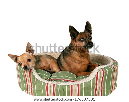 two chihuahuas on a pet bed - stock photo