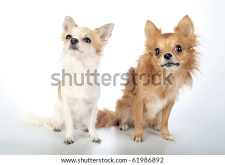 two chihuahuas  sitting and looking up on white