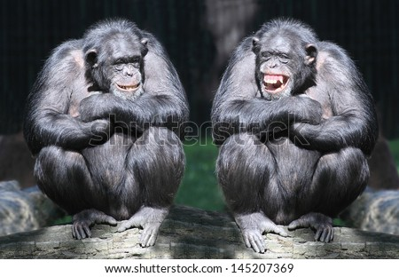Two chimpanzees have a fun. - stock photo