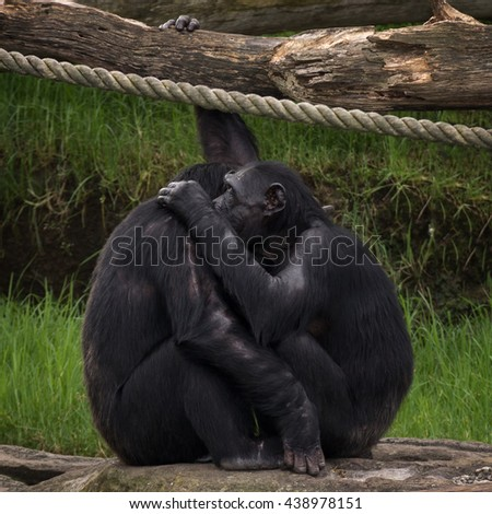 Two Chimpanzees Hugging
