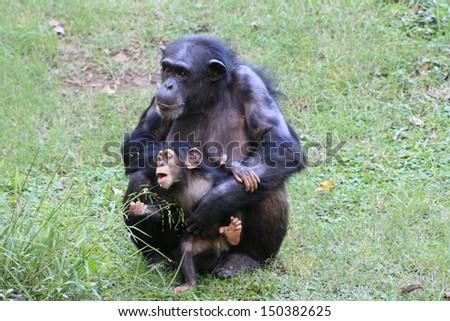 Two chimps in grassy habitat - stock photo