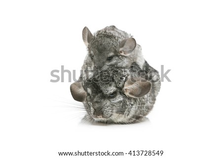 Two chinchillas isolated over white background - stock photo