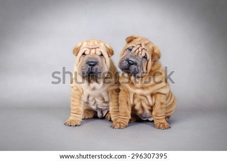 Two Chinese Shar pei puppies portrait - stock photo