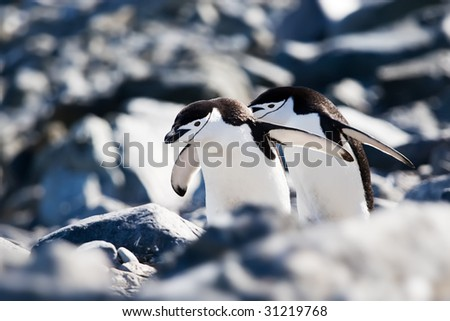 two chinstrap penguins hurrying back to the colony - stock photo