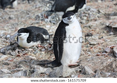 Two Chinstrap penguins (Pygoscelis antarctica) in Antarctica - stock photo