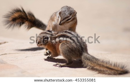 Two chipmunks at play - stock photo