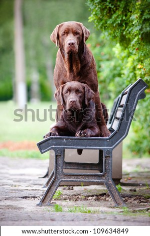 two chocolate Labrador retriever dogs on a bench - stock photo