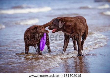 two chocolate labrador retriever dogs playing at the sea - stock photo