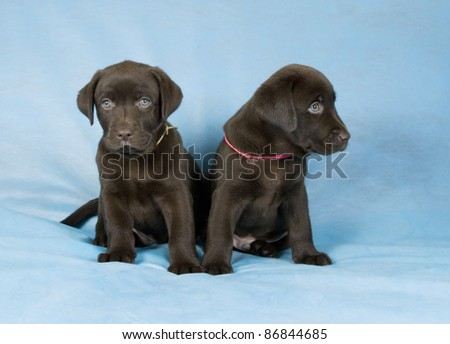 Two chokolate labrador retriever puppies sitting in blue