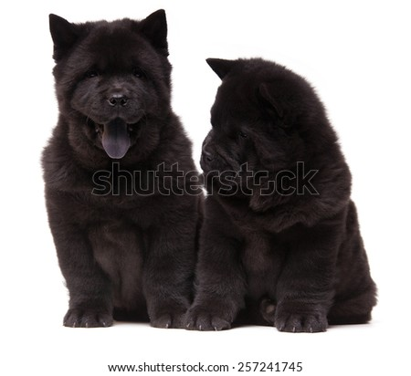 two chow-chow black puppies puppies isolated over white background - stock photo