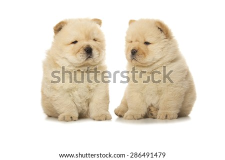 two chow-chow puppies isolated on white background - stock photo