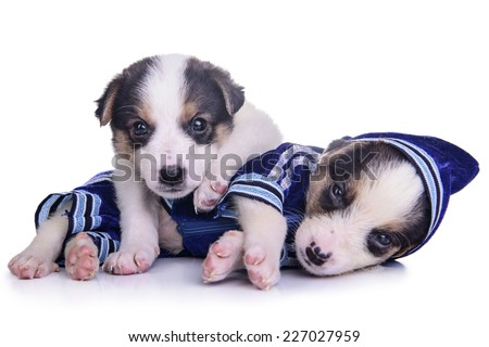two clothing puppies mestizo resting. Isolated on white background - stock photo