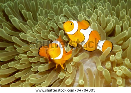 Two Clown Anemonefish, Amphiprion percula, swimming in their sea anemone.