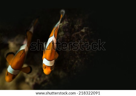 Two clown fishes in saltwater aquarium top view - stock photo