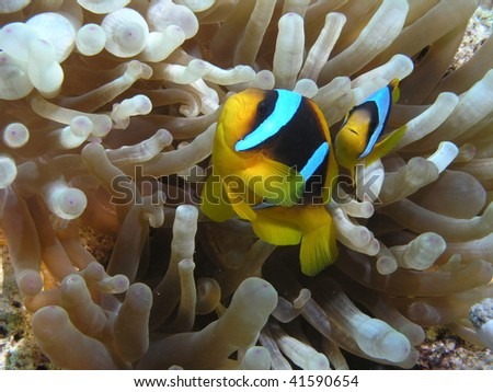 two clownfish guarding their anemone - stock photo
