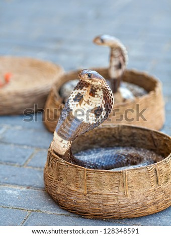 Two cobra in a basket at the snake charmer - stock photo