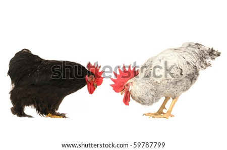 two cock on a white background - stock photo