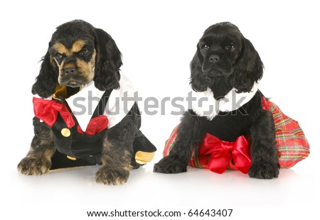 two cocker spaniel puppies dressed up in formal party clothing with reflection on white background - stock photo