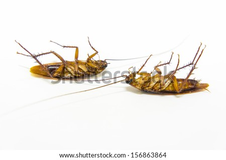 two cockroach dead on isolated background