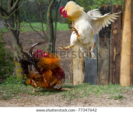 two cocks fighting - stock photo