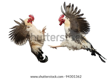 Rooster Fight Stock Images, Royalty-Free Images & Vectors ...