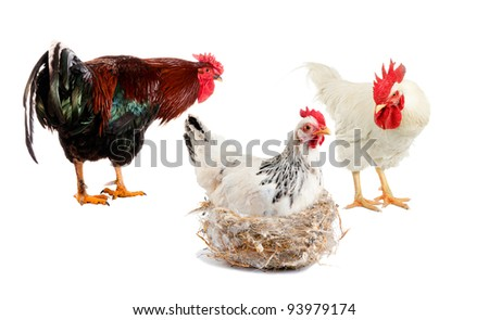 Two cocks in a studio shot on white background, try to find a chicken sitting on the nest. Who among them is the father of future babies? - stock photo