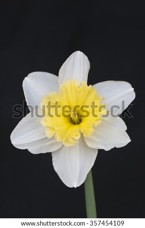 Two color daffodil isolated on black background