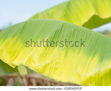 two color of banana leave design by natural on trunk  - stock photo