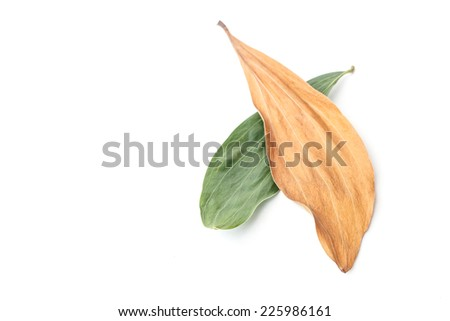 Two color of Tree leaves isolated on white background