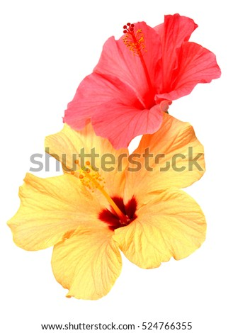 Two colored hibiscus flowers isolated on white background. Flat lay, top view.