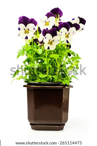 Two-colored pansies in a pot isolated over white - stock photo