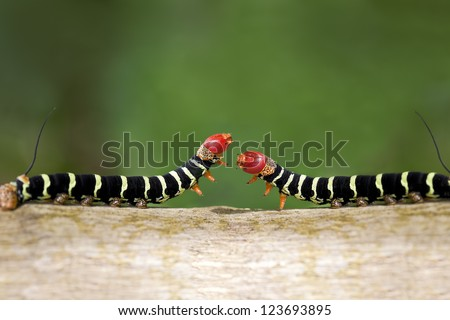 Two colorful caterpillars (Pseudosphinx tetrio) as they cross paths ready to fight or mate. - stock photo