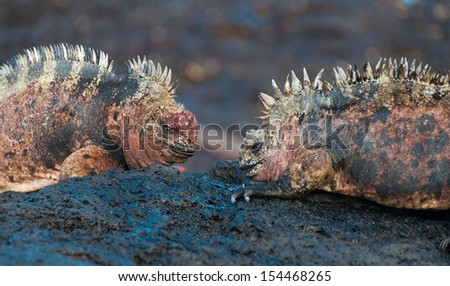 Two colorful male marine iguanas on volcanic rock. Male on the left is bleeding from their battle. - stock photo