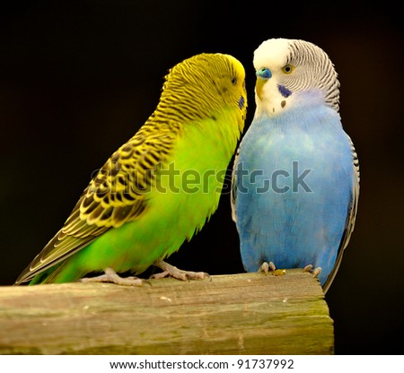 Two colorful parakeets on a perch. - stock photo