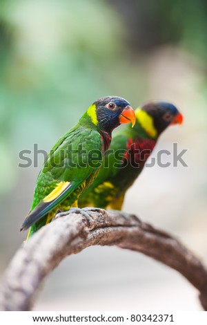 Two colorful parrot - stock photo
