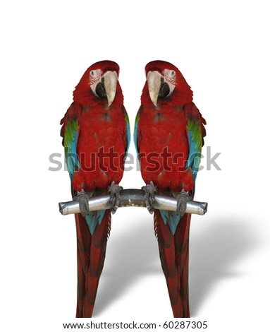 two colorful parrots isolated on white background - stock photo